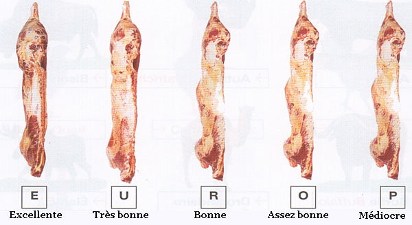 conformation-carcasse-boeuf